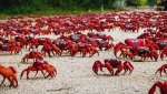 120-Million-Red-Crabs.jpg